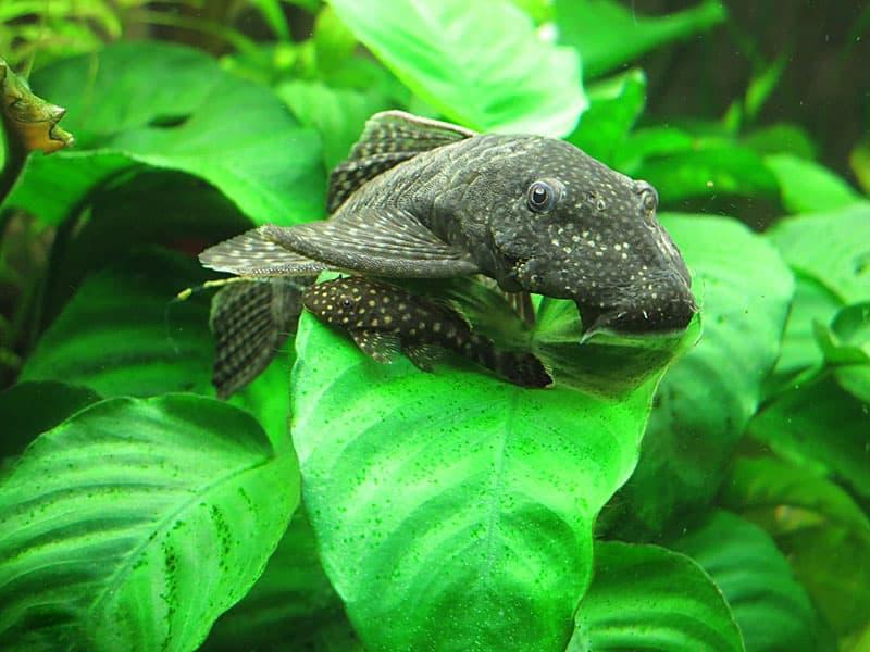 Растительный корм для рыб