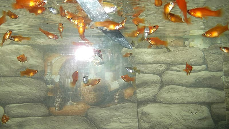Корм для рыб телячье сердце