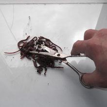 Корм для рыб дождевые черви