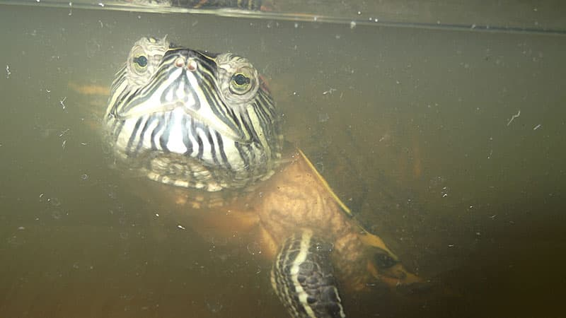 Корм для рыб из черепашника