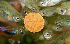 Сколько раз кормить аквариумных рыбок