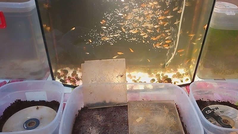 Гриндальский червь: как правильно кормить малька и взрослых рыб